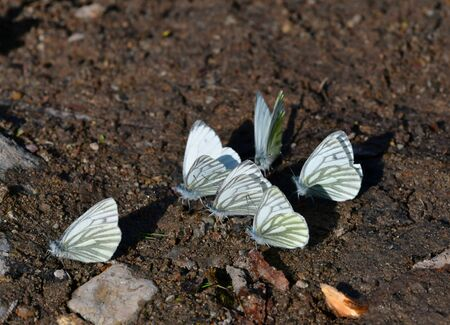 A meeting of green-veined whites on the ground. Stockfoto