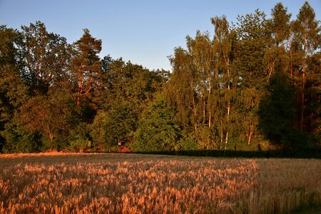 A landscape in Bavaria in the summertime in the late evening sun. A corn field in front, a forest in the background. District of Cham, Upper Palatinate.