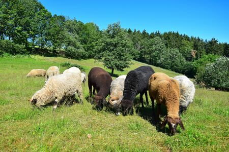 A few sheep of different breeds and colors grazing in a meadow. District of Cham, Upper Palatinate, Bavaria, Germany.