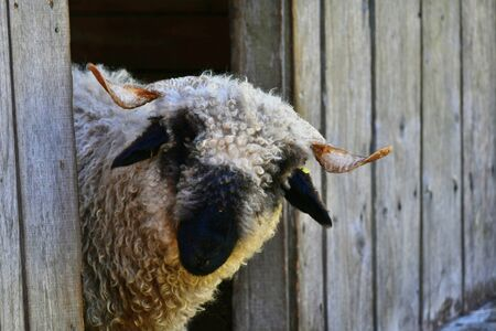 A Valais blacknose sheep with horns looking out of its stable. Stockfoto
