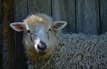 Portrait of a young white sheep with a black nose in front of a stable.