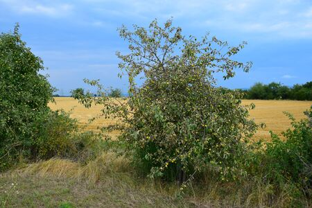 An apple tree suffering from a long period without rain. The leaves are curled up. Dried grass in front.