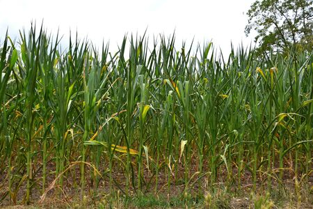 A cornfield. The plants are rolling their leaves up due to a long period without rain. Stock Photo