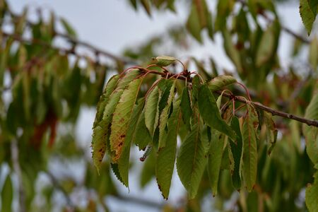 A branch of a cherry tree. After a long period without rain the leaves are rolled up. Stock Photo