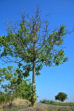 A young walnut tree suffering from a long period without rain at the end of august. Some branches are completely bare.
