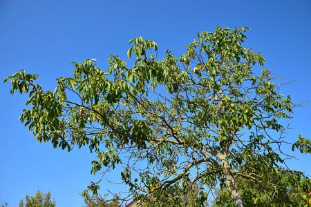 Leafs of a walnut tree suffering from a long period without rain at the end of august. Stock Photo
