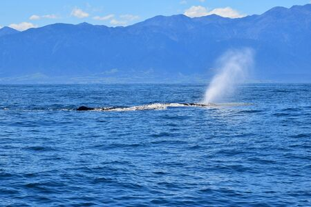 The forward-angled spray of a sperm whale named Manu in the ocean. The back with the dorsal fin is visible. Whale watching in New Zealand.