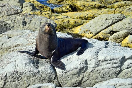 A new zealand fur seal (Arctocephalus forsteri) in upright position on his foreflippers on a rock. Outstretched tongue. Point Kean, Kaikoura, New Zealand, South Island.