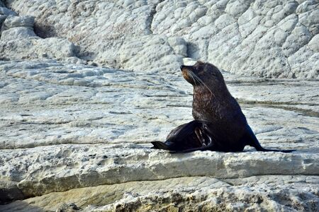 A young new zealand fur seal (Arctocephalus forsteri) in upright position on his foreflippers on a rock. Point Kean, Kaikoura, New Zealand, South Island.