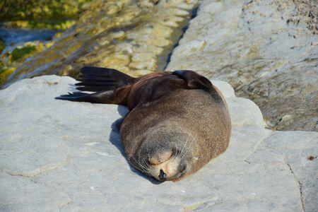 A new zealand fur seal (Arctocephalus forsteri) sleeping on its back on a rock. Point Kean, Kaikoura, New Zealand, South Island.