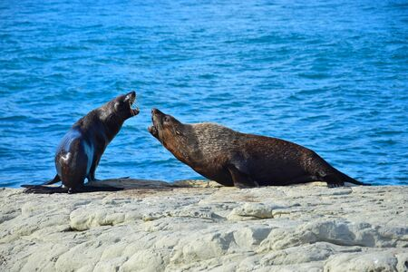 Two new zealand fur seals (Arctocephalus forsteri) threatening each other, the jaws open showing the teeth. Point Kean, Kaikoura, New Zealand, South Island.