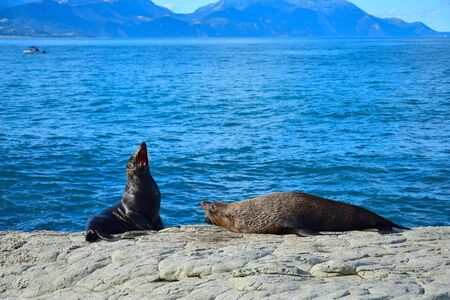Two new zealand fur seals (Arctocephalus forsteri) threatening each other, the jaws wide open showing the teeth. Point Kean, Kaikoura, New Zealand, South Island.