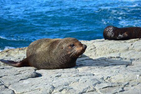 A new zealand fur seal (Arctocephalus forsteri) sunbathing on a rock. Head lifted, eyes open. Point Kean, Kaikoura, New Zealand, South Island. 스톡 콘텐츠