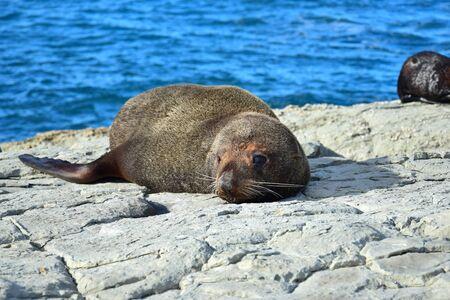A new zealand fur seal (Arctocephalus forsteri) sunbathing on a rock. Point Kean, Kaikoura, New Zealand, South Island.