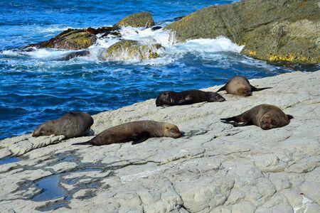 A group of new zealand fur seals (Arctocephalus forsteri) sunbathing on a rocky shore. Point Kean, Kaikoura, New Zealand, South Island.