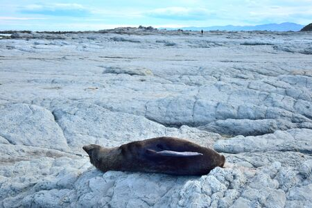 A new zealand fur seal (Arctocephalus forsteri) sunbathing very relaxed on its back on the rocks of Point Kean, Kaikoura, New Zealand, South Island. 스톡 콘텐츠