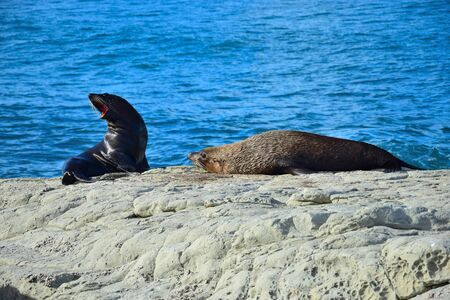 Two new zealand fur seals (Arctocephalus forsteri), one threatening with the jaw wide open showing the teeth. Point Kean, Kaikoura, New Zealand, South Island. 스톡 콘텐츠