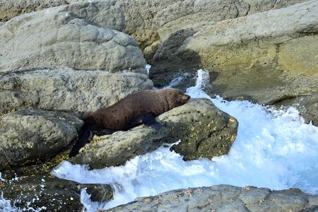A new zealand fur seal (Arctocephalus forsteri) sunbathing on a rock. Point Kean, Kaikoura, New Zealand, South Island. Waves coming in. 스톡 콘텐츠