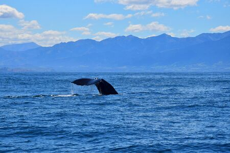 The flukes of a sperm whale named Manu, going for a feeding dive. New Zealand. 스톡 콘텐츠