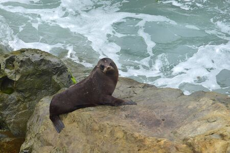 A new zealand fur seal (Arctocephalus forsteri) on the rocks of Ohau Point near Kaikoura, New Zealand, South Island. Standing on its foreflippers.