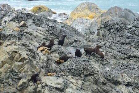 A new zealand fur seal kindergarten (Arctocephalus forsteri) on the rocks of Ohau Point near Kaikoura, New Zealand, South Island. Bad weather.