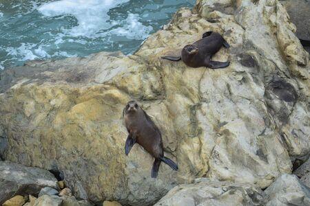 Two new zealand fur seals (Arctocephalus forsteri) resting on the rocks of Ohau Point near Kaikoura, New Zealand, South Island.