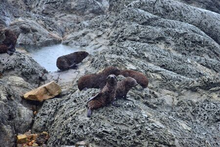 A group of new zealand fur seal puppies doesnt care about the rain. (Arctocephalus forsteri) on the rocks of Ohau Point near Kaikoura, New Zealand, South Island. Bad weather with rain.