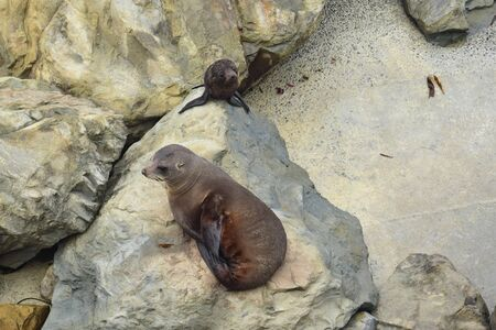 A new zealand fur seal puppy (Arctocephalus forsteri) and its mother on the rocks of Ohau Point near Kaikoura, New Zealand, South Island. . 스톡 콘텐츠