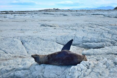 A new zealand fur seal (Arctocephalus forsteri) sunbathing on its back on the rocks of Point Kean, Kaikoura, New Zealand, South Island. One foreflipper is raised.