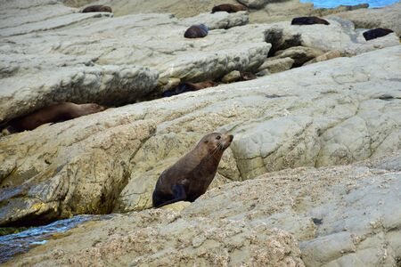 A new zealand fur seal (Arctocephalus forsteri) in upright position on his foreflippers on the rocks of Point Kean, Kaikoura, New Zealand, South Island. Other seals in the background.