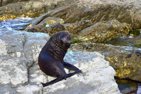 A young new zealand fur seal (Arctocephalus forsteri) in upright position on his foreflippers on the rocks of Point Kean, Kaikoura, New Zealand, South Island. Looking back into the camera.