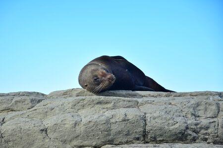 A new zealand fur seal (Arctocephalus forsteri) sunbathing on the rocks of Point Kean, Kaikoura, New Zealand, South Island.