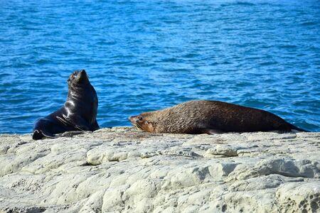 Two new zealand fur seals (Arctocephalus forsteri) sunbathing, one in upright position. Point Kean, Kaikoura, New Zealand, South Island.