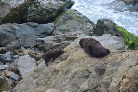 A new zealand fur seal puppy (Arctocephalus forsteri) climbing up to its mother on the rocks of Ohau Point near Kaikoura, New Zealand, South Island. 스톡 콘텐츠