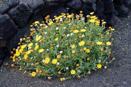 A yellow blooming elecampane (Inula helenium) in a garden in Lanzarote, Canary Islands, Spain. Its planted in fine grained lava called lapilli.