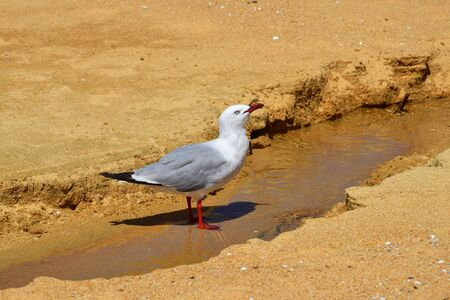 A red-billed gull (Larus novaehollandiae) drinking water out of a trickle on a sand beach in New Zealand, South Island.