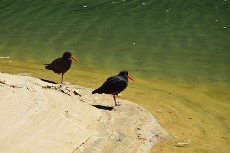 Two variable oystercatcher (Haematopus unicolor) on a sandy beach in a lagoon in the Abel Tasman National Park, New Zealand, South Island. Both standing on one leg.