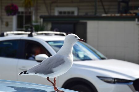 A red-billed gull (Larus novaehollandiae) on a the roof of a parked car, one foot lifted. Another car is passing by. Takaka, New Zealand, South Island.