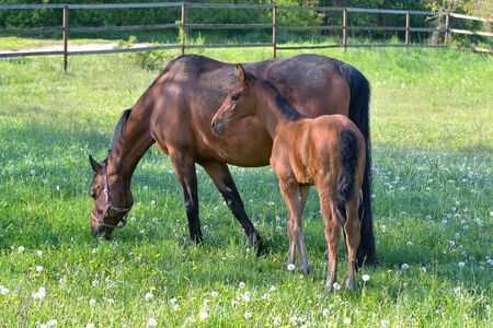 A bay warmblood mare with her filly in a flowering meadow full of dandelions.