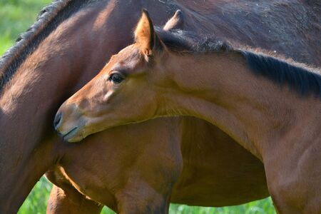 Portrait of a cute bay warmblood filly, standing beside its mother in a green meadow.