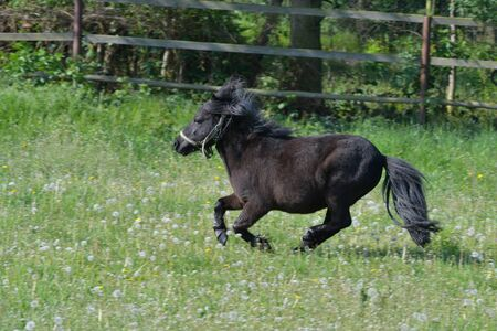 A cute black Shetland pony galloping in a green meadow with dandelions.