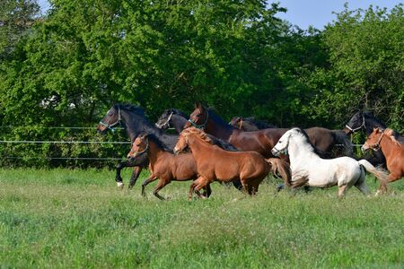 A mixed group of warmblood horses and ponies in different colors running in a green meadow.