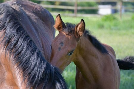 Portrait of a cute bay warmblood filly, standing beside its mother in a green meadow and hiding behind her.