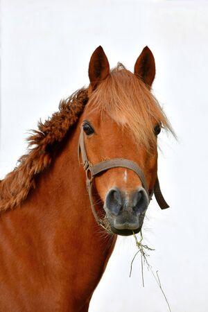 Portrait d'un joli poney alezan devant un mur blanc. Il a du foin dans la bouche.