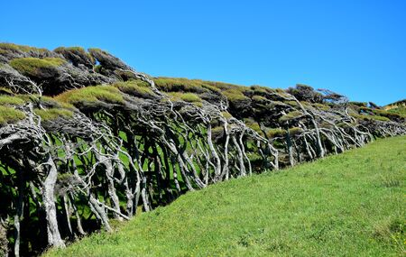 Manuka trees (Leptospermum scoparium) in New Zealand, by the wind. South Island, near Cape Farewell.