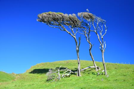 Manuka trees (Leptospermum scoparium) in New Zealand, crooked by the wind. South Island, near Cape Farewell.