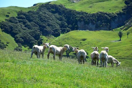 A group of sheep in New Zealand, landscape in the background.