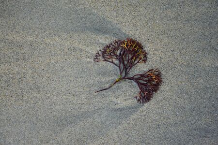 A part of a water plant in the sand on the beach. New Zealand.