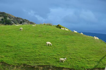A herd of sheep in New Zealand on a hill under a cloudy sky,
