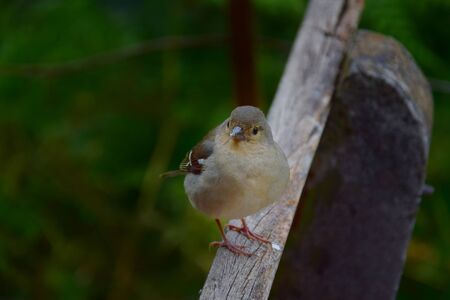 A cute female Madeiran chaffinch (Fringilla coelebs maderensis) sitting on a wooden bench. Madeira, Portugal.